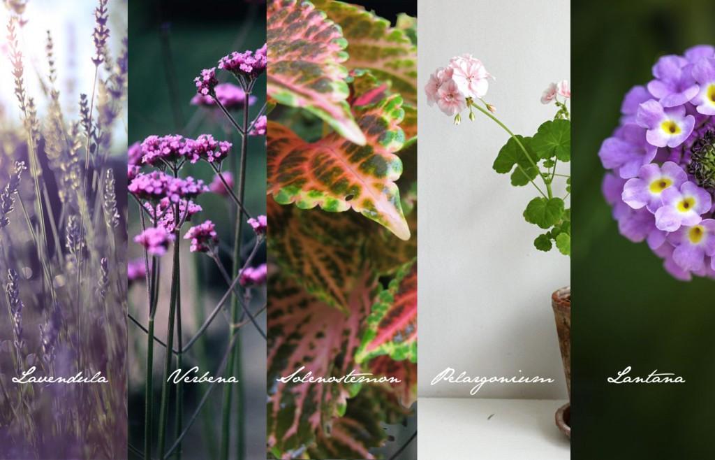 Unkaputtbare Balkonpflanzen